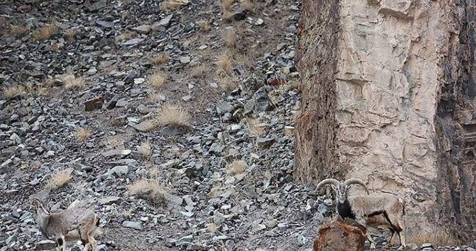 Samo 2% populacije može da uoči snežnog leoparda
