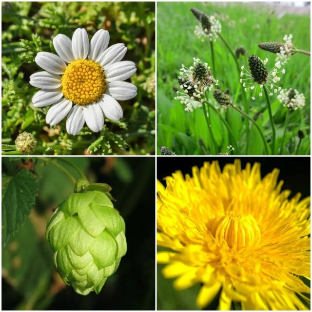 Ako vas boli glava ili stomak, potražite spas u ovim biljkama!