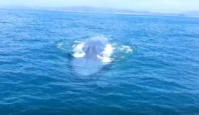 Spektakularan prizor: Najveća životinja na svetu prvi put viđena u Crvenom moru