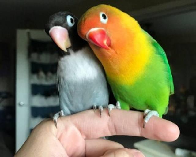 Bio je dovoljan pogled: Ovo je ljubavna priča dva papagaja koja topi srca