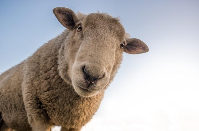 Kako je nastao običaj brojanja ovaca pre spavanja