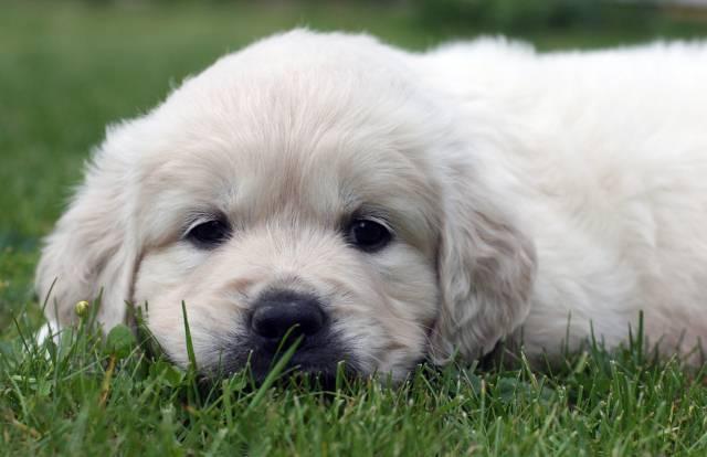 Da li po načinu na koji se štene ponaša možemo da predvidimo narav psa u odraslom dobu?