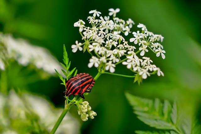 Znate li zašto je zova najpopularnija biljka Evrope?
