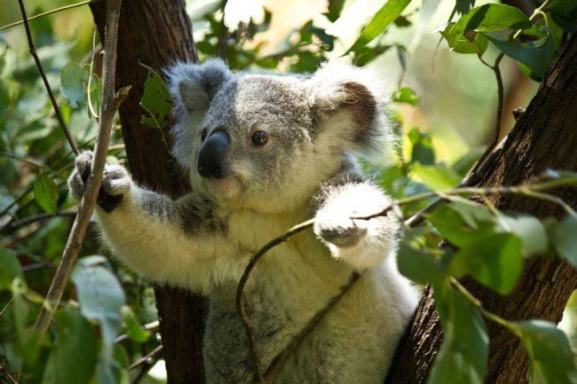 Tragična sudbina koja očekuje koale!