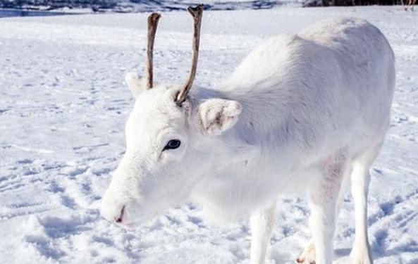 U Norveškoj primećen retki beli irvas