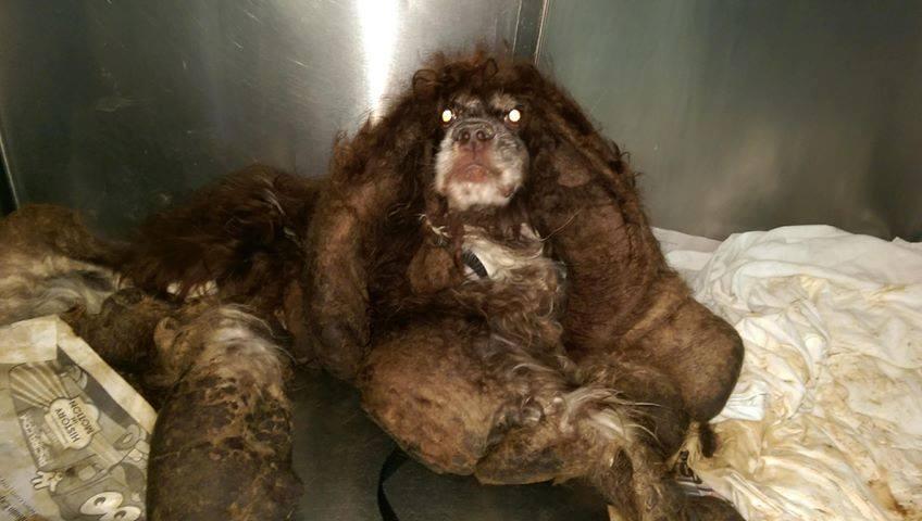 Transformacija napuštenog psa kom su skinuli 2,5 kg ućebane dlake će vam slomiti srce