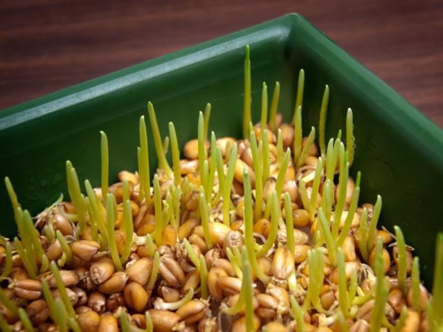 Božićna pšenica se seje na Svetog Nikolu
