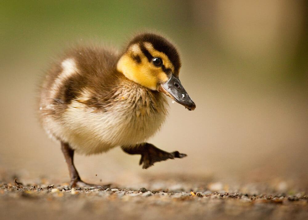 Krajnje neočekivana situacija – Novosađaninu u stan ušli patka i pačići