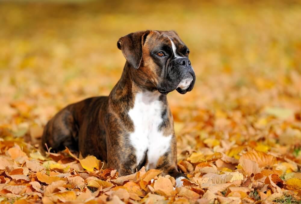 5 vrsta pasa koje izgledaju strašno, a zapravo su maze