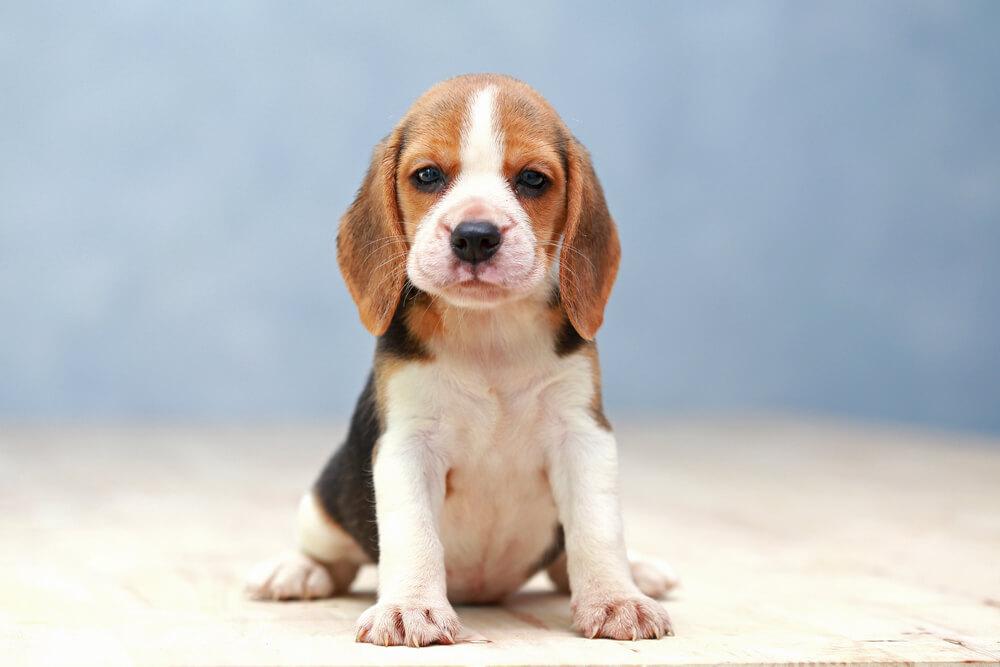 12 najodanijih rasa pasa na svetu