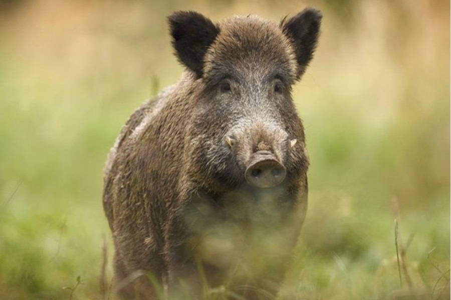 Krdo divljih svinja na Novom Beogradu!