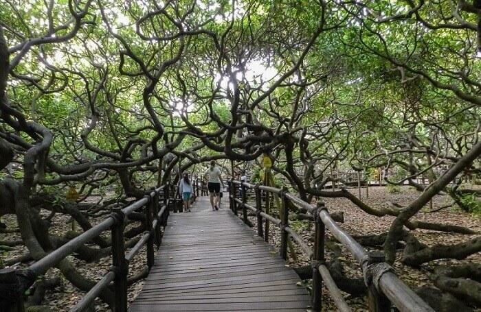 Ovo neverovatno drvo se prostire na 8500 kvadratnih metara!