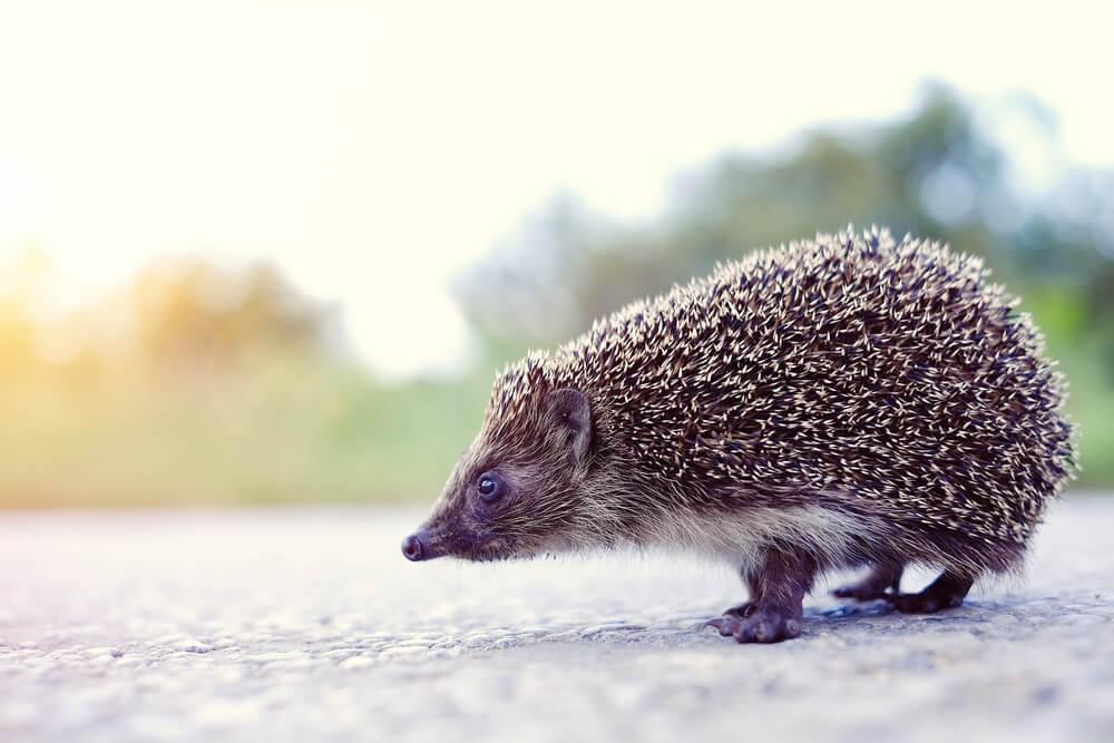 Sezona ježeva je počela – zaštitimo ih!
