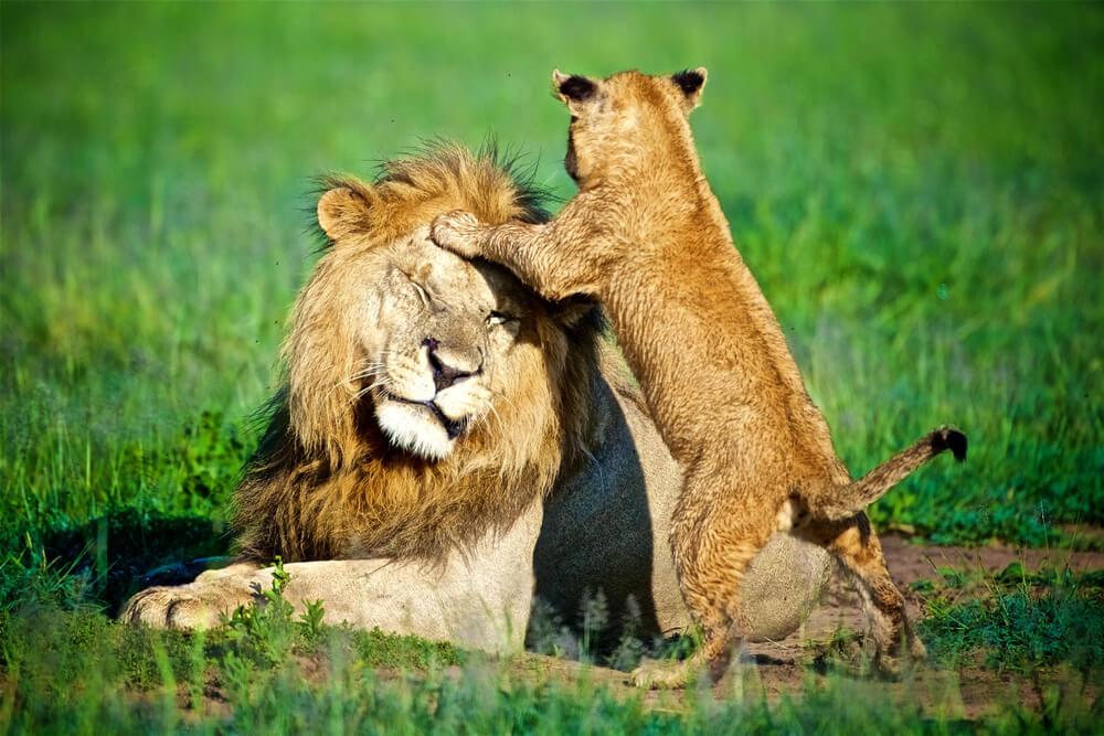 Predivan snimak upoznavanja tate lava sa svojim mladunčetom