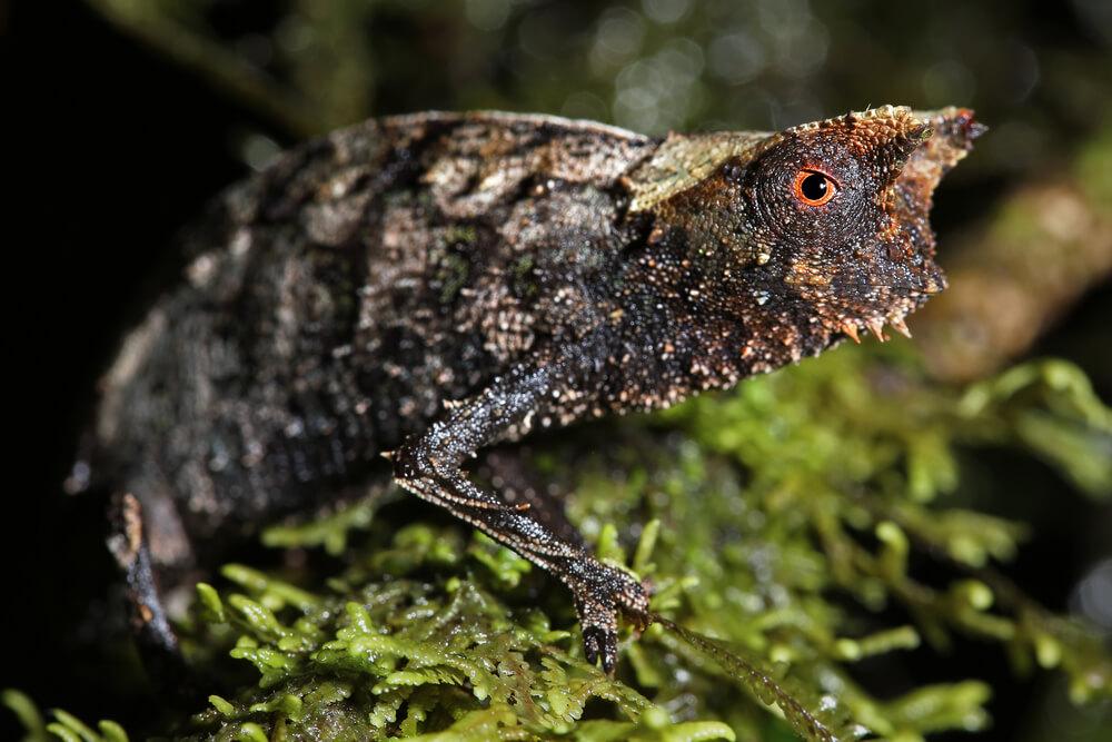 Evo kako izgleda najmanji kameleon na svetu