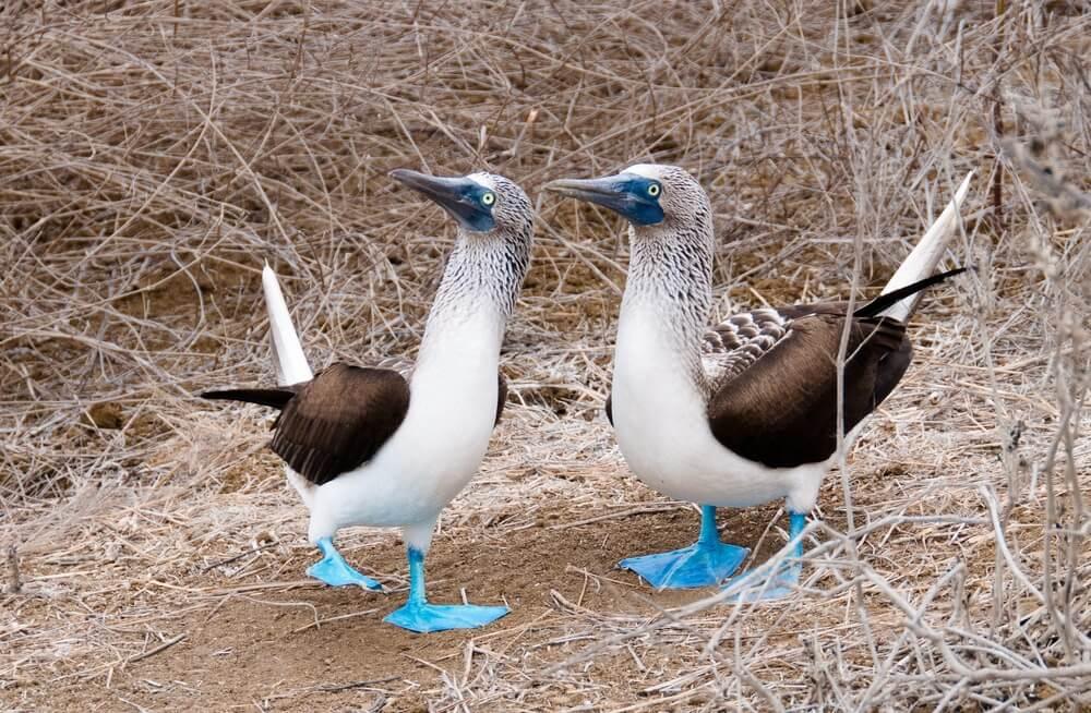 Plavonogi Bobi – najčudnija ptica na svetu!