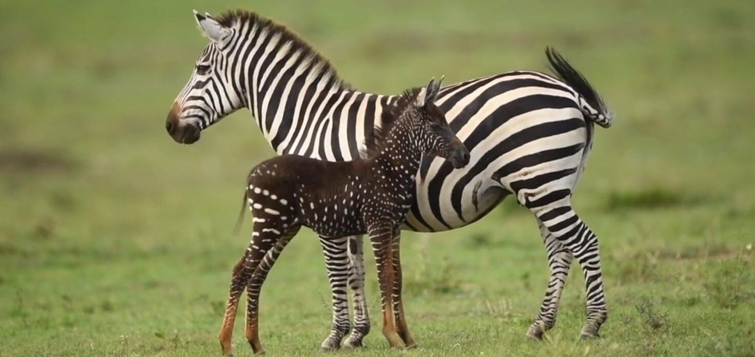 Rođena prva zebra bez pruga!