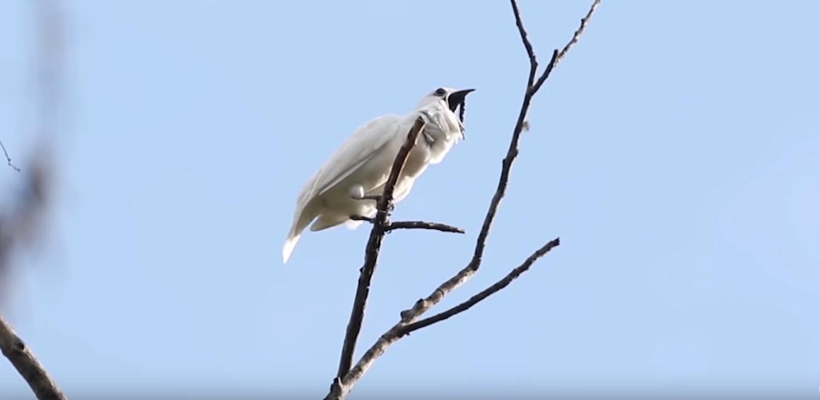 Najglasnija ptica na svetu pravi jači zvuk od rok koncerta