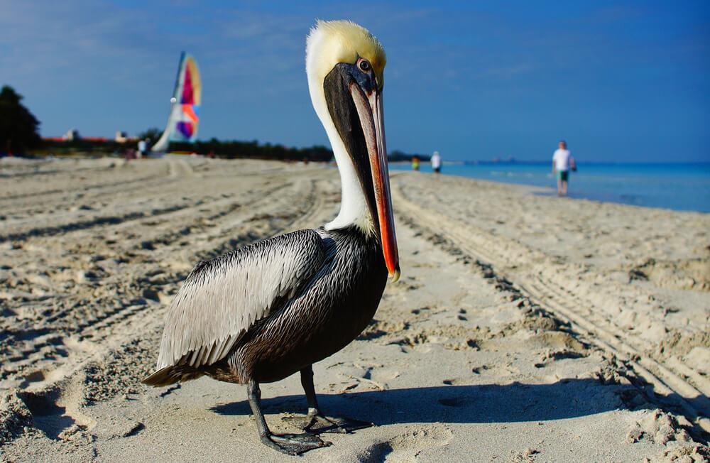 Pelikan oduševio goste u ribljem restoranu