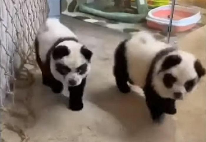 Kafić ofarbao pse tako da izgledaju kao pande