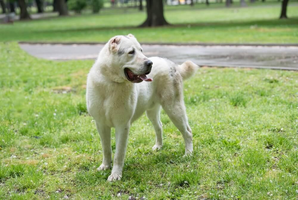 Pas postao nacionalni simbol azijske države 🐕