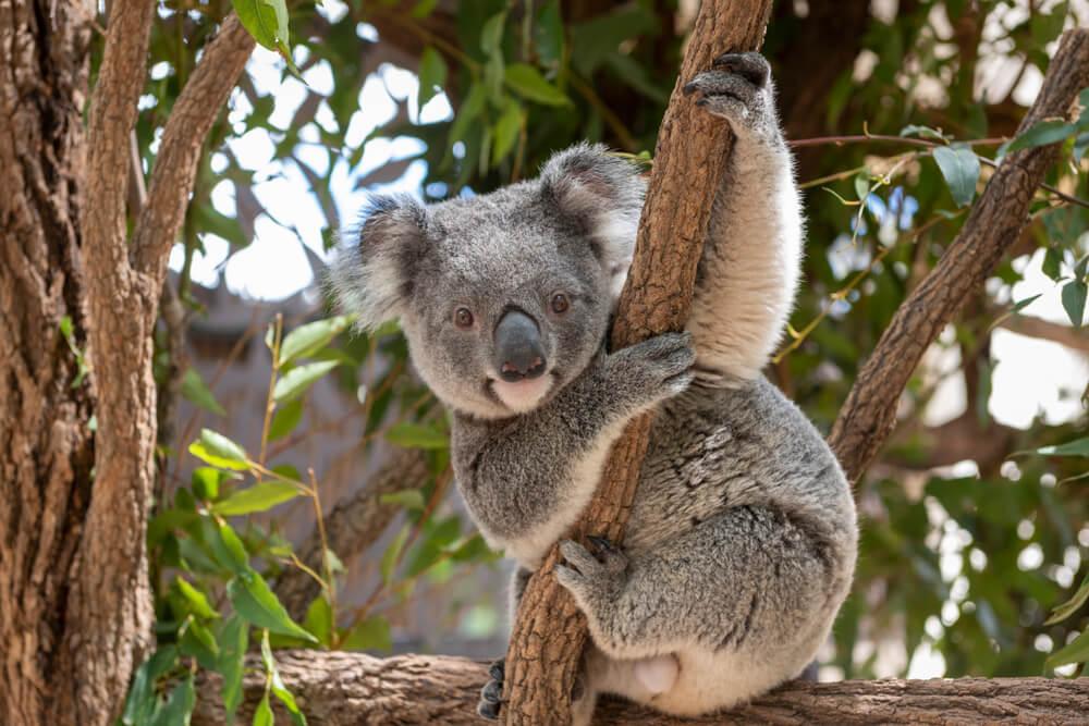 Dva tinejdžera spasila gomilu koala od požara!