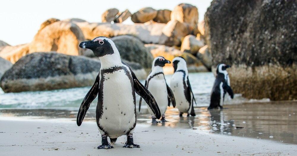 Gej pingvini ukrali jaje drugom paru pingvina 🐧