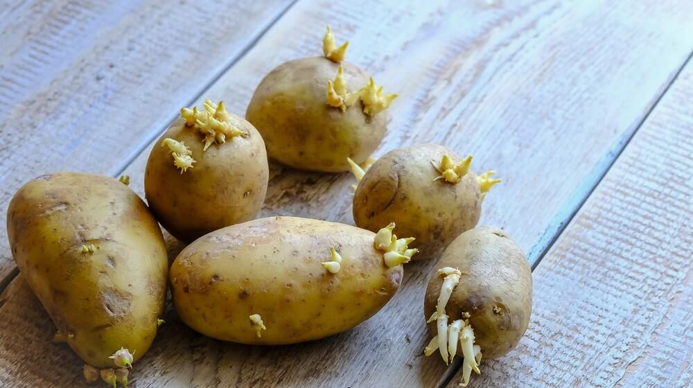 Da li je bezbedno jesti proklijali krompir 🥔