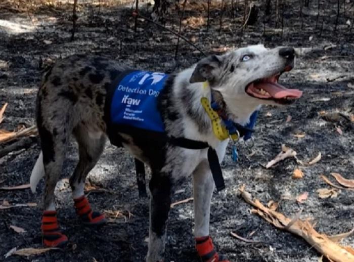 Ovaj hrabri pas spašava koale iz požara 🐶 🐨