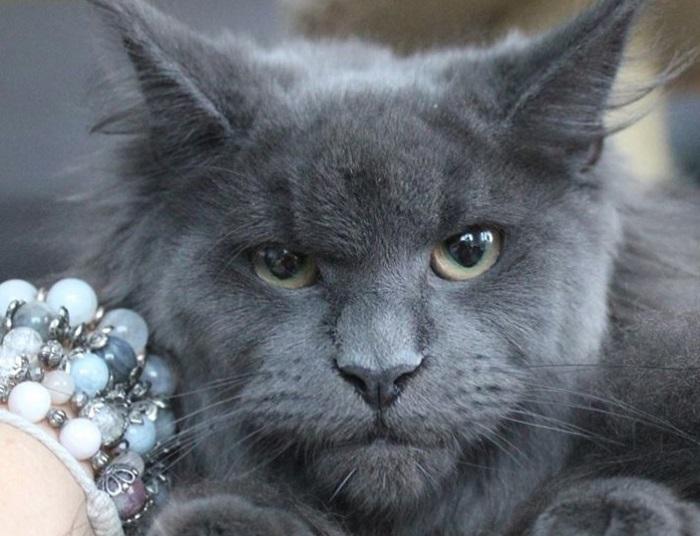 Maine Coon – mačke čija lica neverovatno podsećaju na ljudska