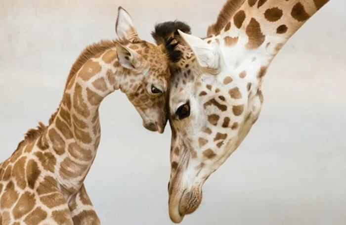 Dirljive fotografije životinjskih porodica