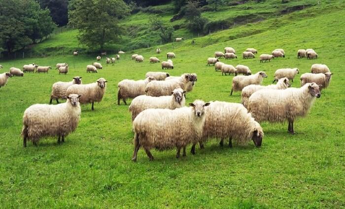 Nišlija osmislio pastira-robota – uskoro na pašnjacima!