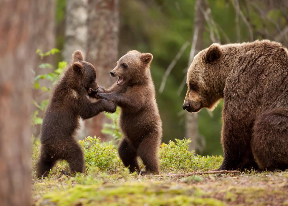 Kamera na kući je snimila porodicu medveda kako se igraju – snimak je neverovatan