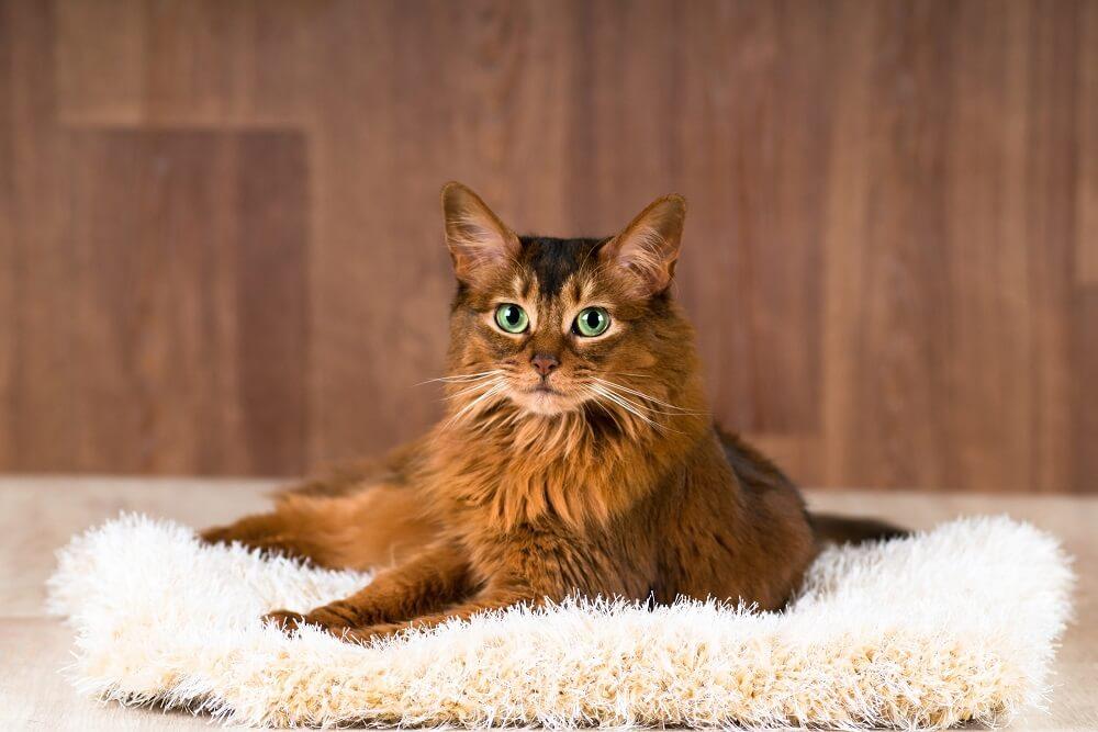 Otkrijte koja ste rasa mačke na osnovu vašeg horoskopskog znaka