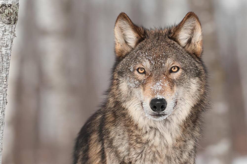 Drevna priča o dva vuka – čita se za 10 sekundi, a pouka ostaje za sva vremena!