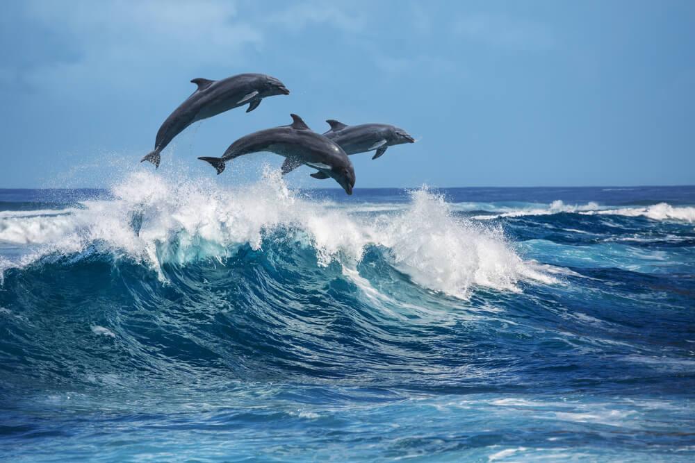 Predivan prizor – više od 300 delfina u stampedu