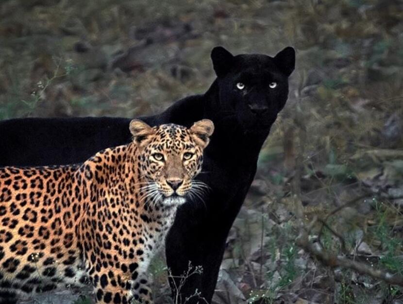 Romeo i Julija u Indiji – crni panter i leopard u ljubavi