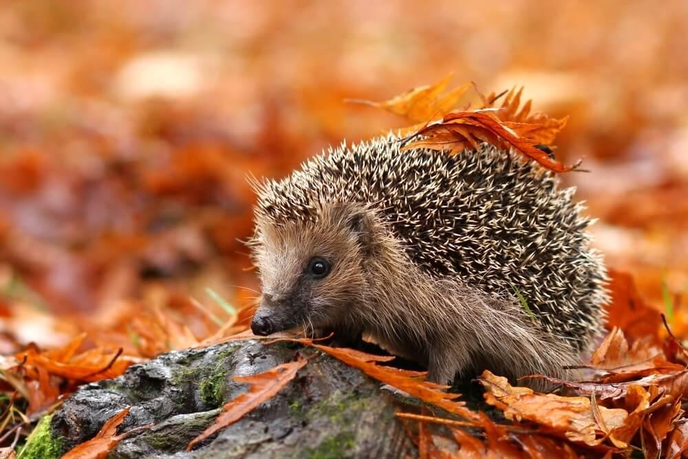 Evo zašto ježevi mogu da budu izvrsni kućni ljubimci – vole da se maze, imaju osećaje…