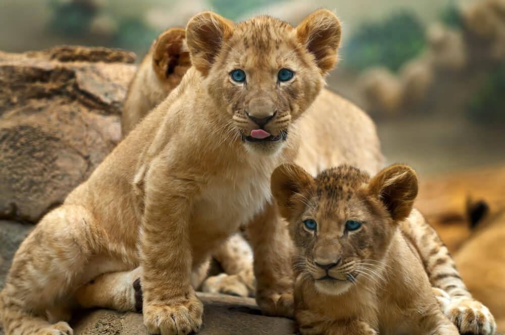 Ova kuca se brine o dva lavića nakon što ih je njihova prava mama ostavila