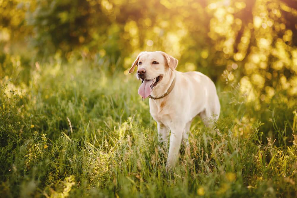 Šta mislite, da li psi mogu da se zaljube? Evo kako da prepoznate to kod vašeg psa
