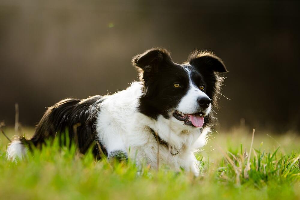 Četiri rase pasa koje je najlakše dresirati