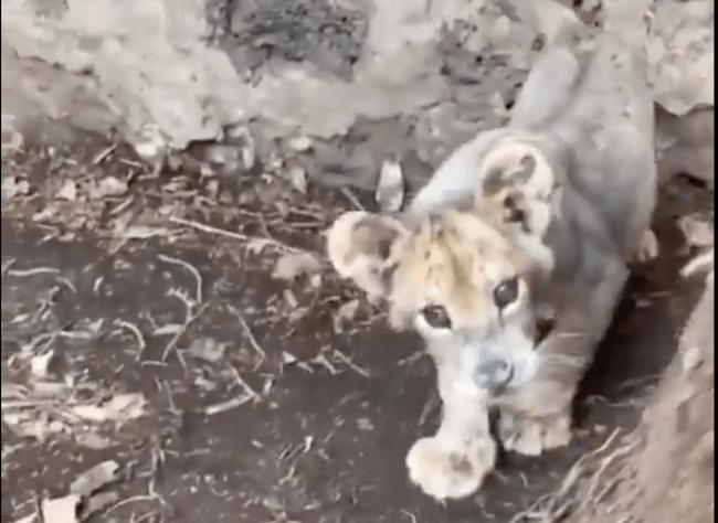 Ovaj razigrani i stidljivi lavić zasigurno će ulepšati vaš dan
