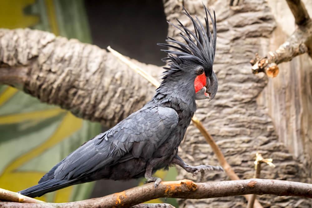 Ptica bubnjar – jedina vrsta na svetu koja pravi i svira instrument