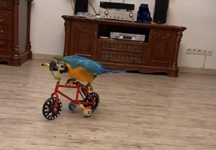 Mali spretni stvor – pogledajte kako ovaj papagaj vozi bicikl