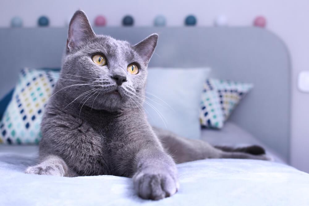 Evo zašto je ruska plava mačkapravi ljubimac za kuću!