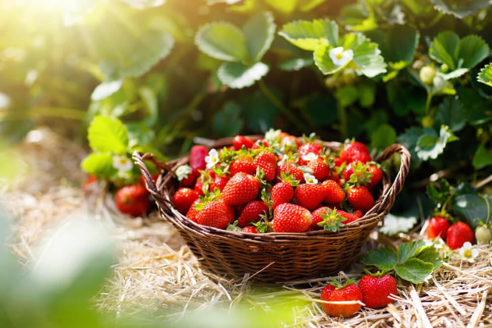 Kako prepoznati da li su jagode slatke?