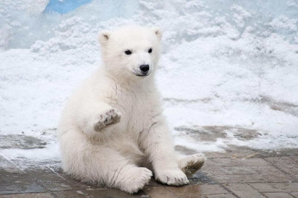 Rudari spasili i pripitomili mladunče belog medveda