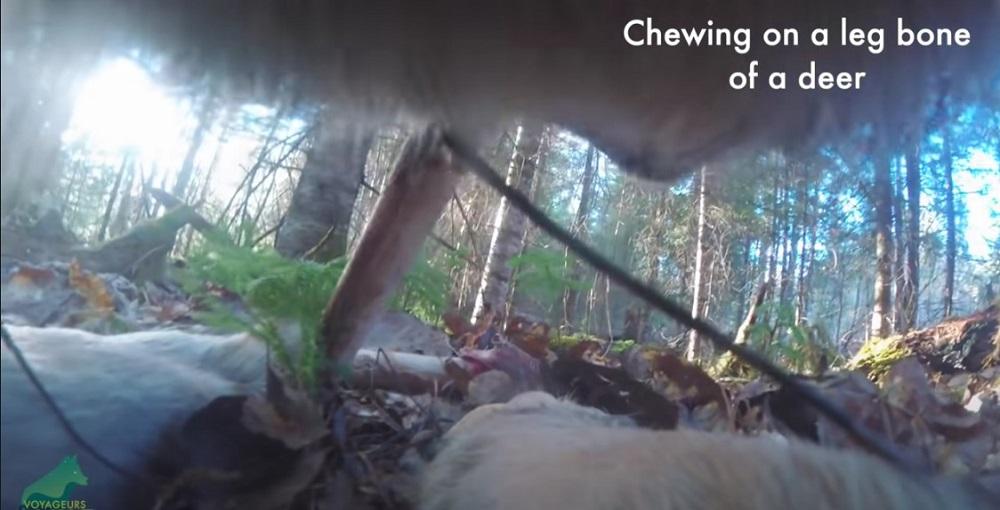 Vuk u šumi prošetao sa prikačenom kamerom, zabeleženi iznenađujući snimci