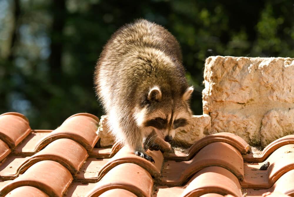Smotani rakun se zaglavio na krovu kuće kao u crtaću