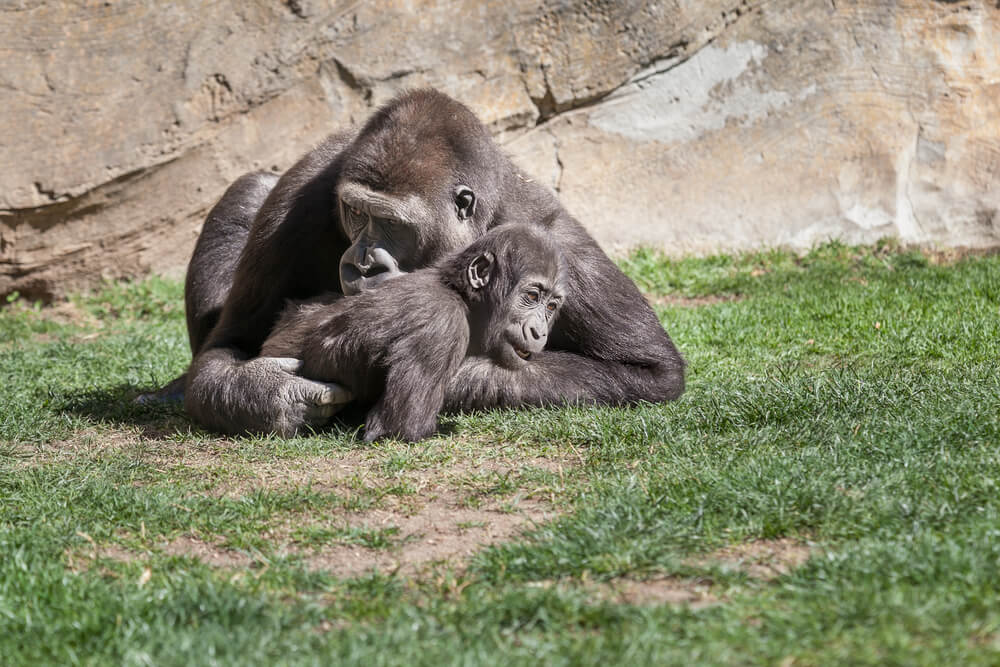 Najnovija istraživanja pokazuju da su mame šimpanze jako slične našim majkama